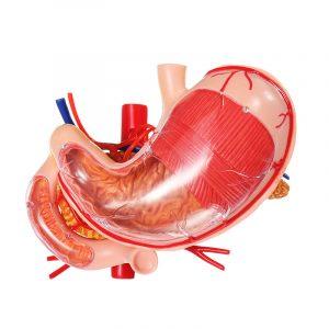 4D MASTER mage anatomisk medicinsk modell mänsklig anatomi modell lösning struktur leksak