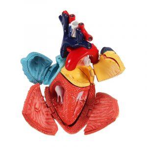 4D MASTER Medicinsk modell Färgad hjärtsammansättning Mänsklig anatomi Dimensionell modell Vetenskapsleksaker