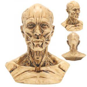 "4 ""10cm Human Anatomical Anatomy Skull Head Muscle Bone Medicinsk modell Heminredning"