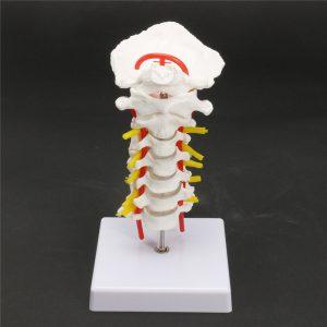 7 '' kiropraktik Mänsklig Anatomica l cervikal Vertebral Spine Modell leksaker