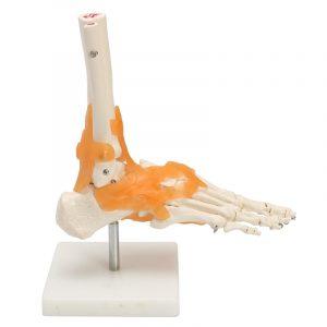 1: 1 human skelett ligament fot ankel gemensam anatomisk anatomi medicinsk modell