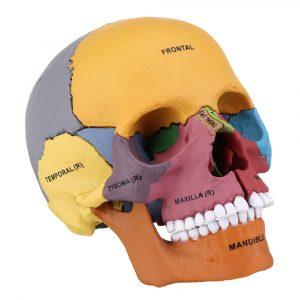 4D MASTER STEM DIY mänsklig skalle rörlig färgrik medicinsk modell vetenskap skelett montering modell inredning gåva