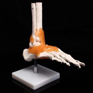 Livsstorlek Fot Ankel Gemensam Anatomisk Skelett Modell Human Medicinsk Anatomi Undervisning Utbildning Kontor Inställningar
