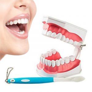Dental Vuxenutbildning Undervisningsmodell med flyttbara nedre tänder och tandborste