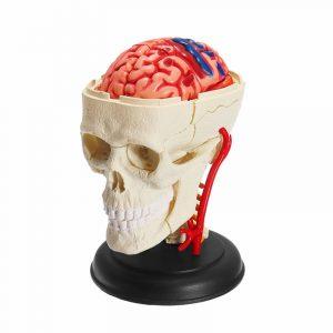 4D MASTER DIY Pussel STEM 39st Montering Skull Brain Neuroanatomical Medical Model Toy