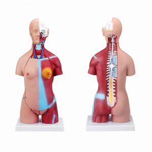 55cm mänsklig anatomi unisex torso montering visceral anatomisk medicinsk modell