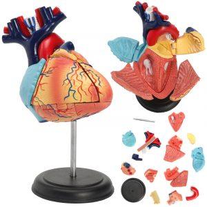 4D Anatomical Human Heart Structural Models Anatomi Medicinsk läroskola